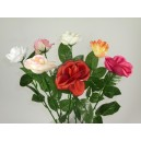 roses ouvertes